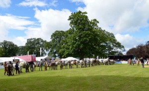 Line up of the working ponies in the main ring